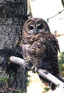 Northern Spotted Owl - By Brett Hartl
