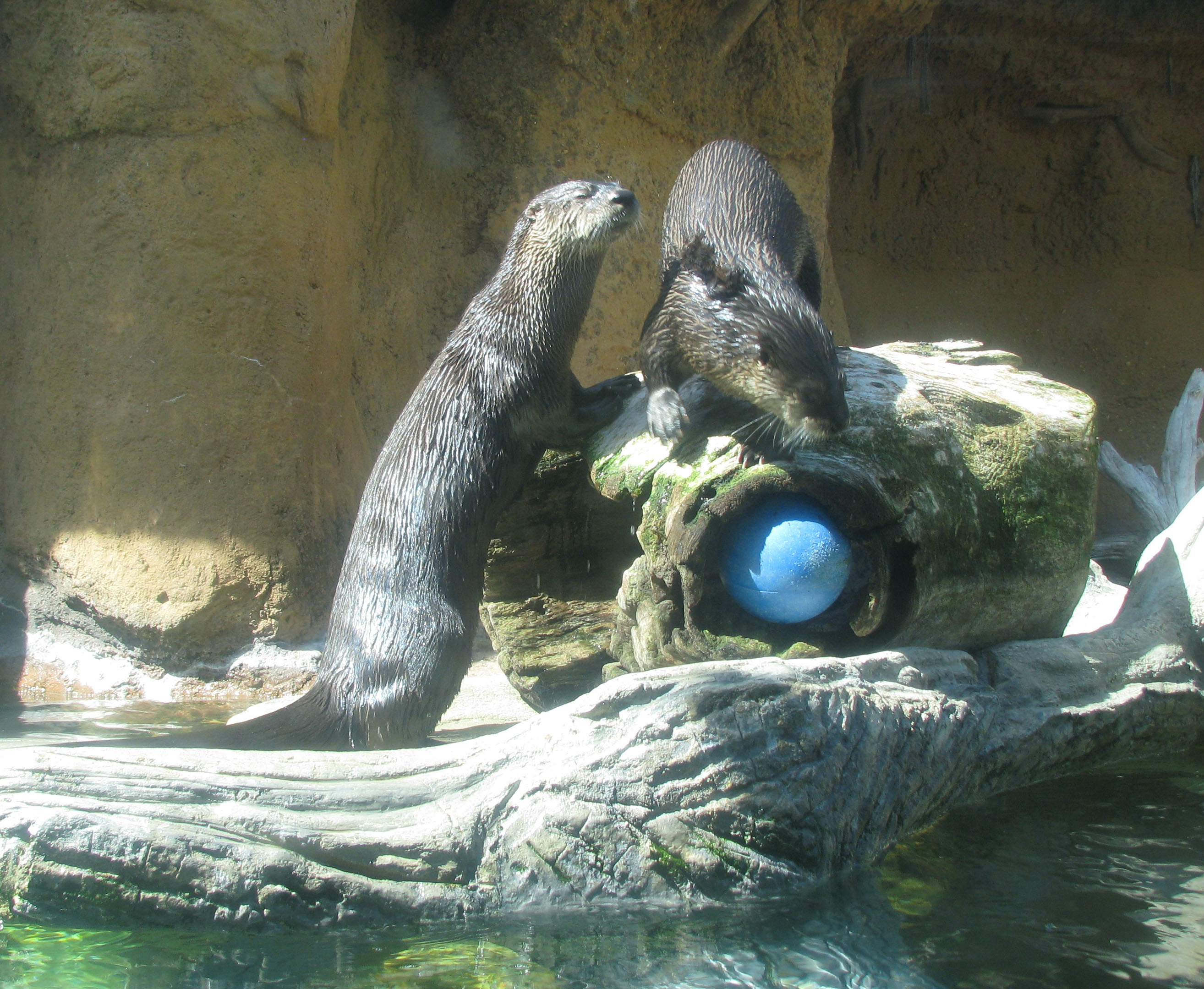 Photo Calvert Marine Museum - Otters in habitat