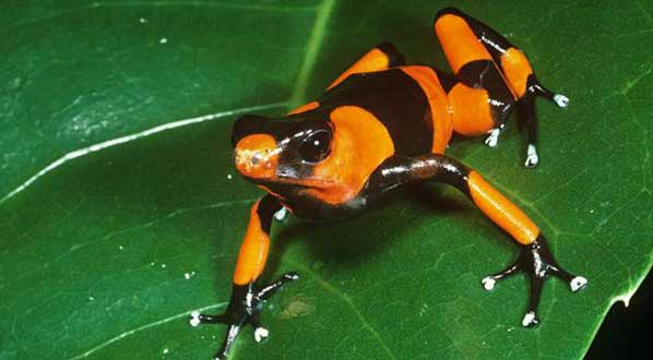 Photo Learn about the ICCB theme and mascot, the Lehmann's poison frog. Photo: Phil Savoie