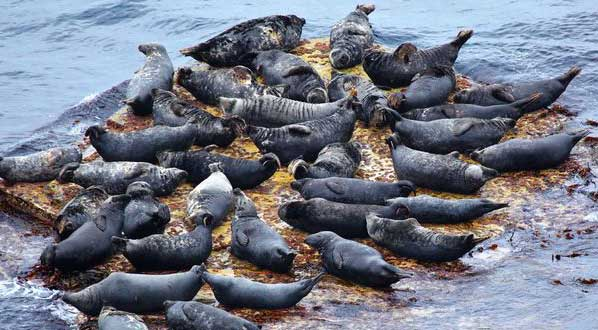 Photo Scotland is home to one third of the global population of grey seals