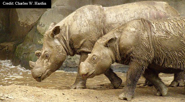 Photo Rhinos wallow in mud holes to keep cool and protect them from insects.