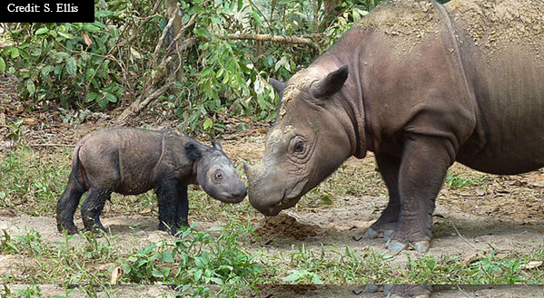 Photo Critically Endangered, there are less than 100 Asian Two-horned Rhinos left.