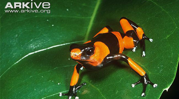 Photo The Lehmann's poison frog is the ICCB mascot. Photo: Phil Savoie / naturepl/com