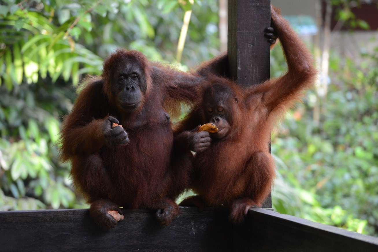 Photo Visit the Orangutan Rehabilitation Center and meet these amazing animals