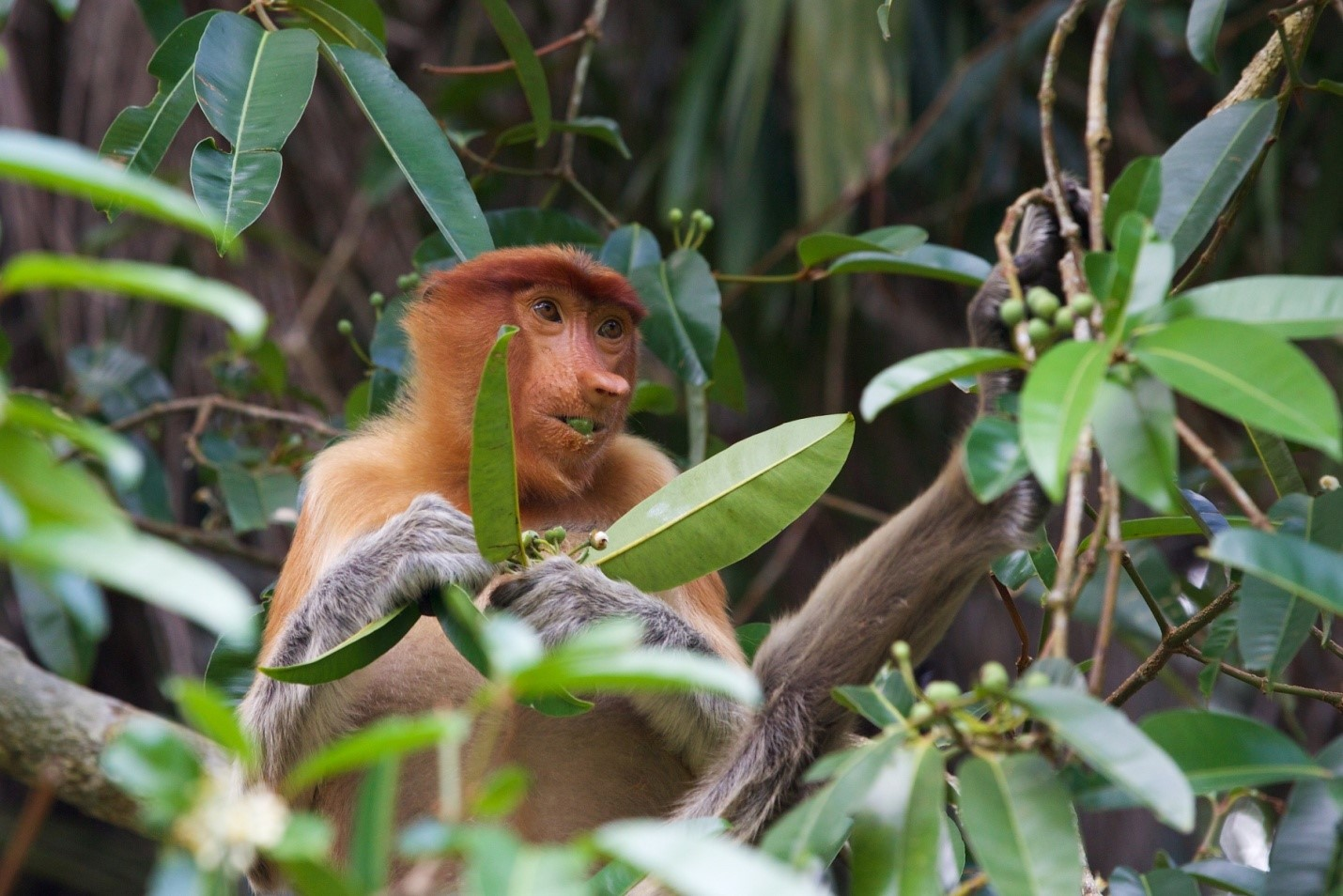 Photo Bako National Park boasts three species of monkey, including the proboscis monkey!