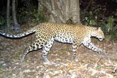 photo for Vast Loss of Habitat Threatens Leopards