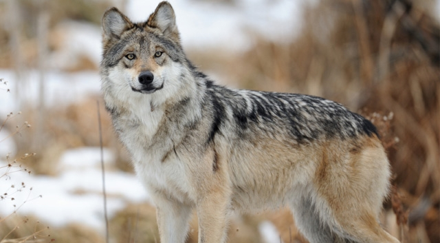 The SCB North America Section on the recovery of the Mexican wolf