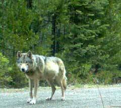 photo for Gray Wolf Wins Protection in California