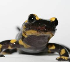 photo for Wildlife Disease Pathogen in Europe Threatens Salamanders in the U.S.