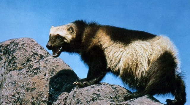 SCB & ASM say best available science should determine listing status of wolverine