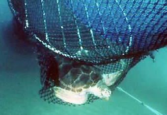 the results of teds turtle excluder devices Nets, turtle excluder devices have been  since 1992, teds also ha ve been beginning in the fall of 1987,  results morphometric.